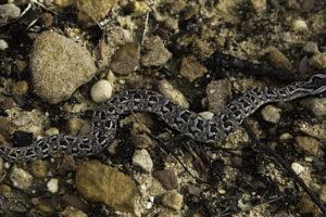 N0. 59 Snake