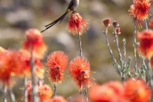 pincushon bird-Fiona Ayerst